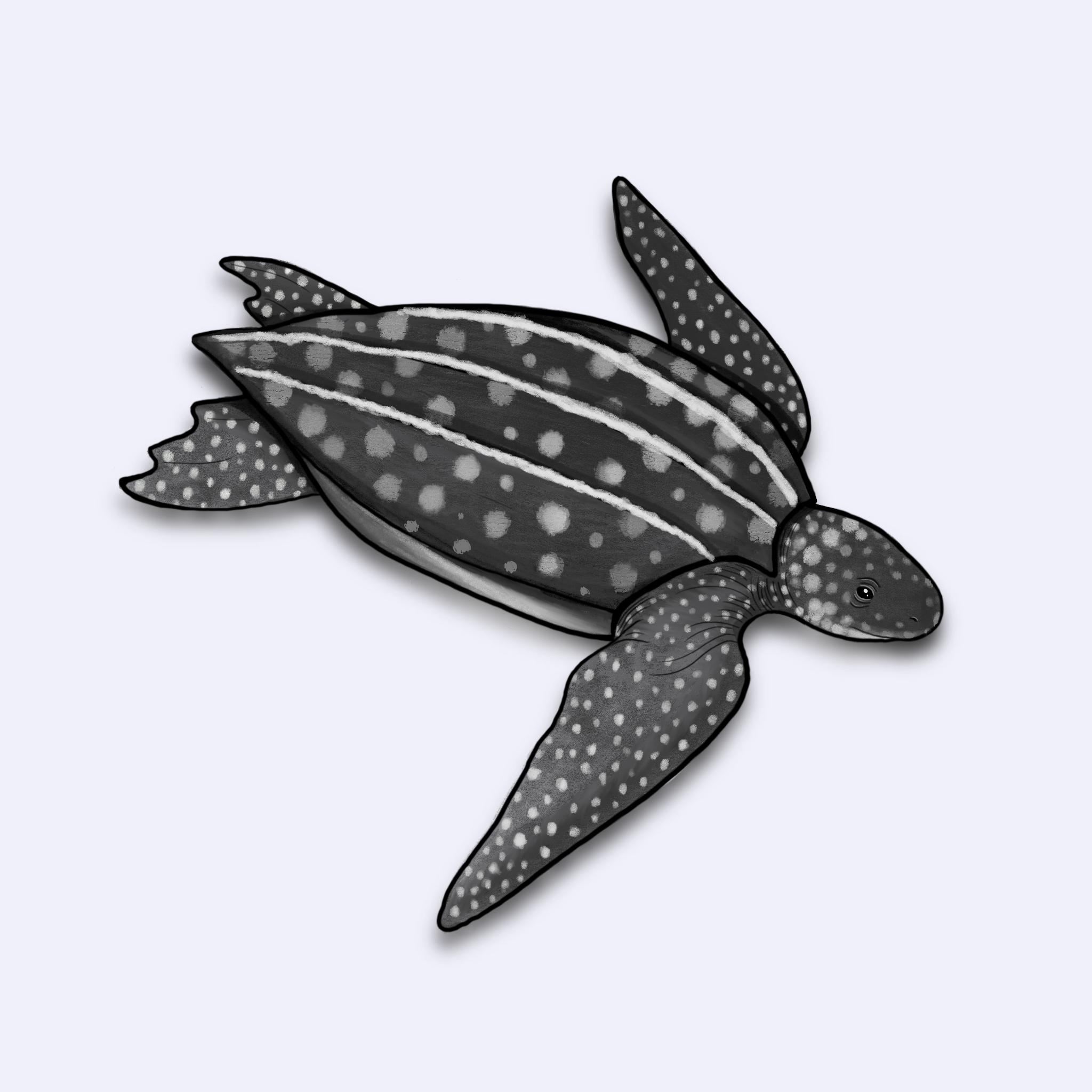 Ilustração da tartaruga-de-couro (Dermochelys coriacea)