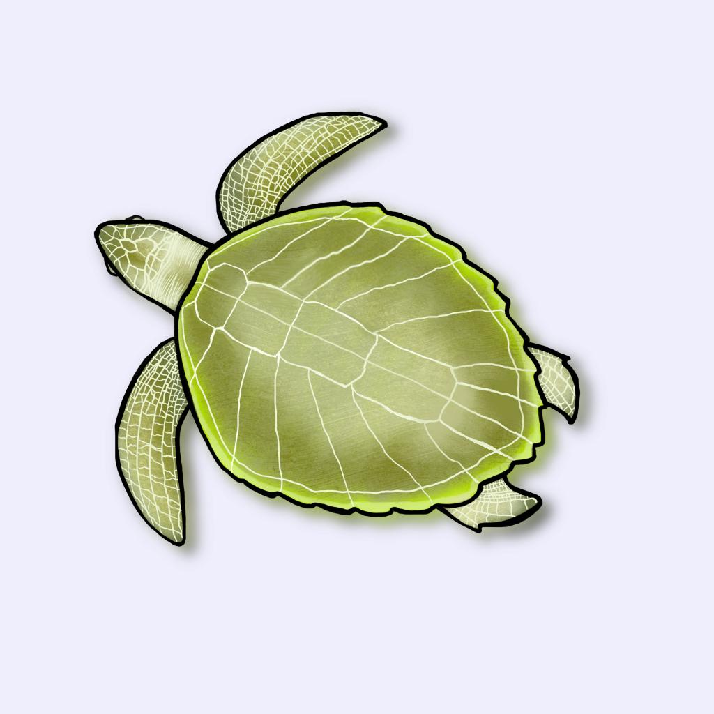Ilustração da tartaruga-oliva (Lepidochelys olivacea)